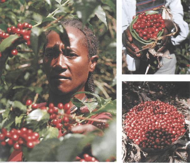 Сбор урожая в Эфиопии