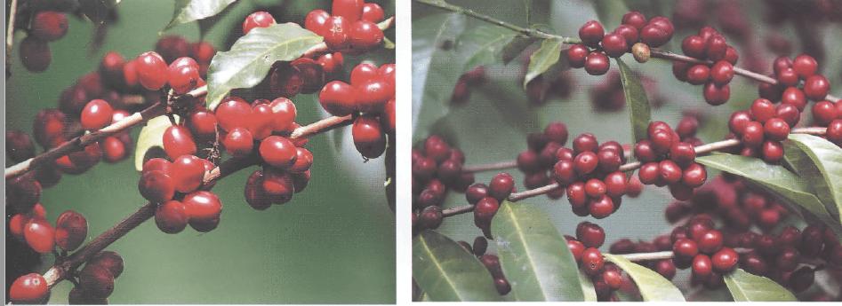 Отличия кофейных ягод разных сортов в Ирга Чеффе, Эфиопия
