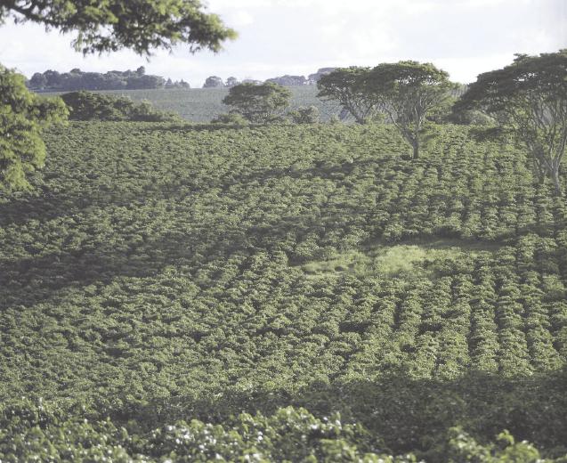 Плантация под открытым солнцем в Кении