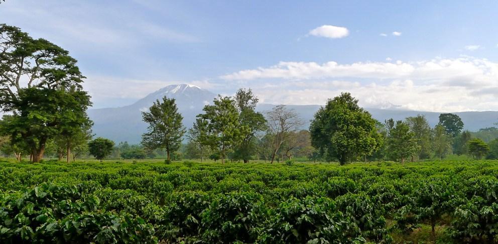 Кофейные плантации у подножья Килиманжаро