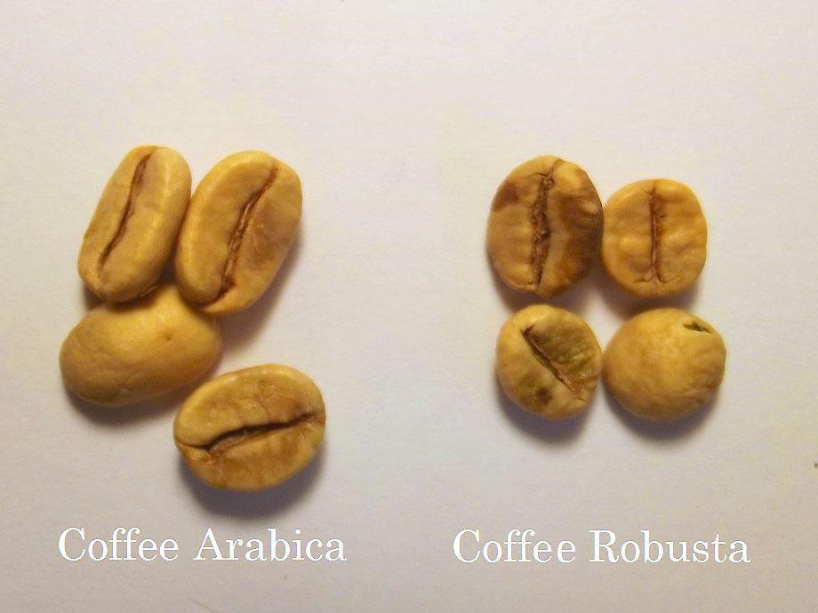 настоящие отличия арабики и робусты