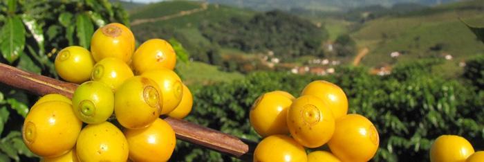 Желтый Бурбон