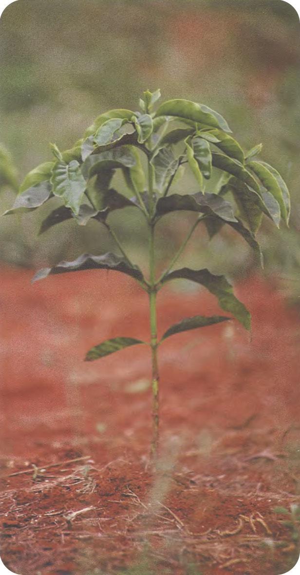 молодое дерево мундо ново