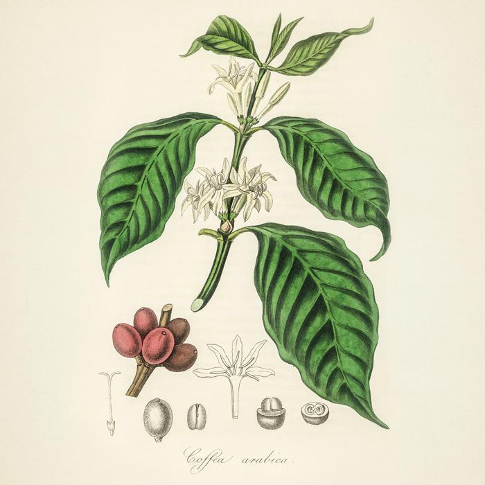 Виды и сорта кофе: полная родословная кофейного дерева