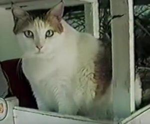 крим пафф самая старая кошка