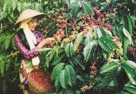 Сбор Робусты во Вьетнаме
